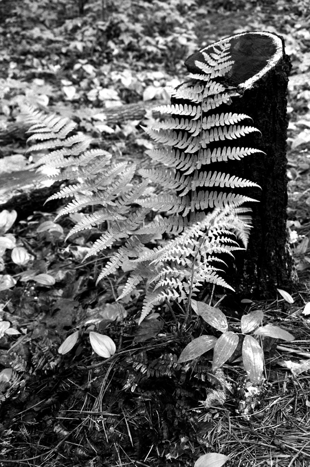 Lake St. Catherine State Park, VT ~ Fern & Stump ~ 2001 ~ CP013031 ~ Richard Clayton Photography ~ Cambridge Photo