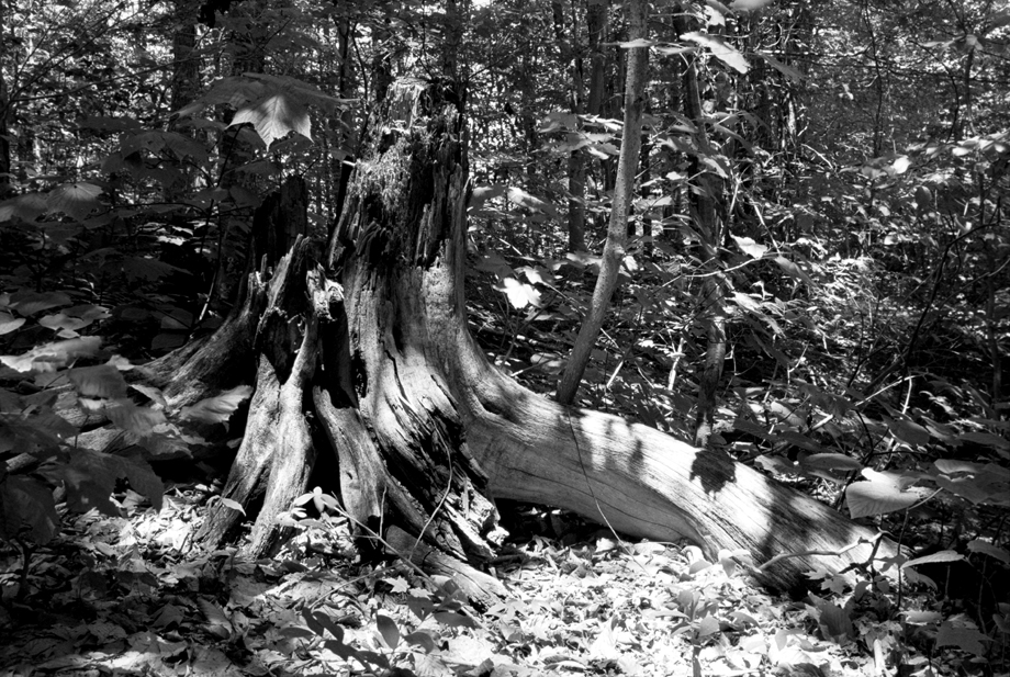 Woodford State Park, VT ~ Pine Stump ~ 2001 ~ CP013040 ~ Richard Clayton Photography ~ Cambridge Photo