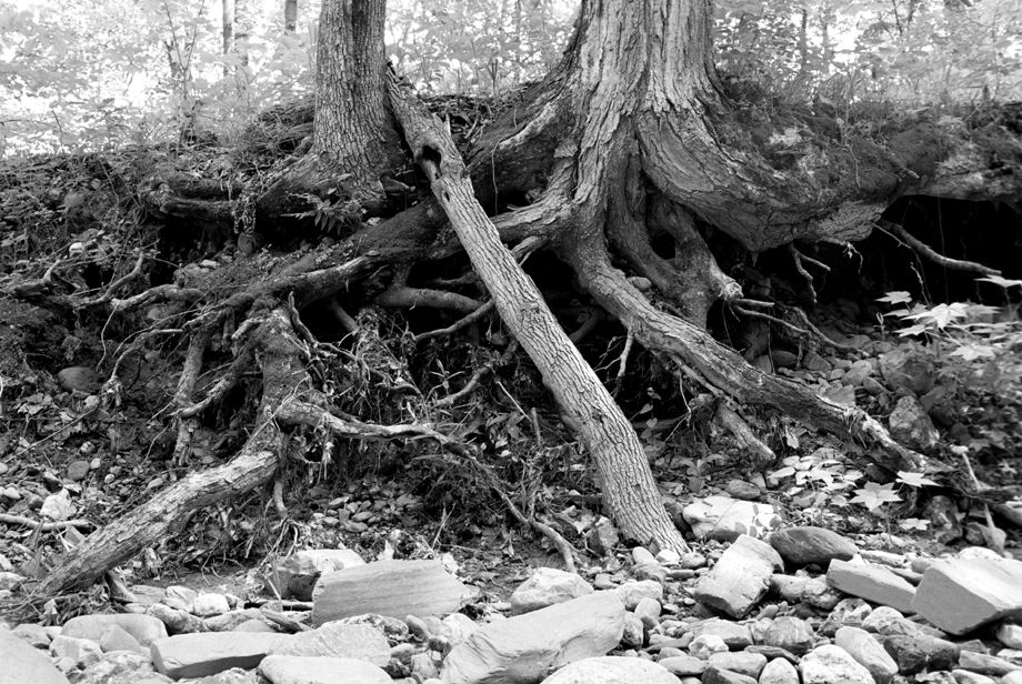 Lake St. Catherine State Park, VT ~ Roots ~ 2001 ~ CP013042 ~ Richard Clayton Photography ~ Cambridge Photo