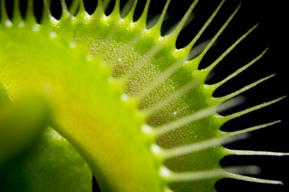 Cambridge, NY ~ Dionaea muscipula ~ 2016 ~ CP163031 ~ Richard Clayton Photography ~ Cambridge Photo